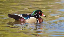 Male Wood Duck. Is swimming Stock Photography