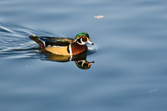 Male Wood Duck Swimming in Blue Water Royalty Free Stock Photo