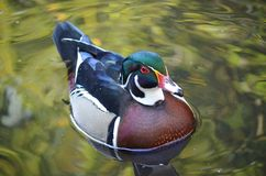 Male wood duck swimming. On green water Stock Image
