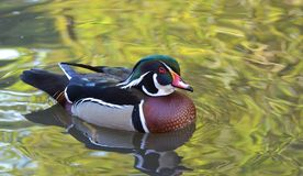 Male wood duck swimming Stock Photos