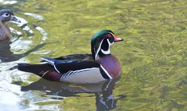 Male wood duck swimming. On green water Stock Images