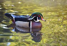 Male  wood duck swimming. Male wood duck swimming on green water Stock Photo