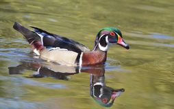 Male wood duck. Is swimming on green water Stock Images