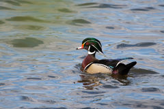 Male wood duck swimming Royalty Free Stock Image