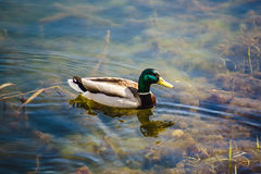 Male wood duck swimming on the lake.  Stock Images