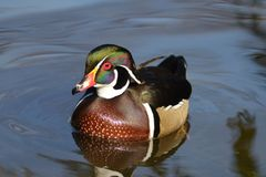 Male Wood Duck swimming. Duck on Water, Male Wood Duck swimming on blue water Stock Photography