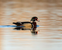Male Wood Duck. Swims in a pond Royalty Free Stock Photo