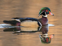 Male Wood Duck. Swims in a pond Royalty Free Stock Photos