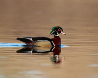 Male Wood Duck. Swims in a pond Royalty Free Stock Images