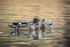 Male wood duck with two females. A male wood duck among two females at Cannon Hill Park in Spokane, Washington Stock Image