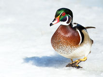 Male Wood Duck Royalty Free Stock Image
