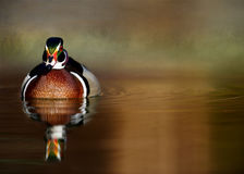 Male Wood Duck on Water Royalty Free Stock Images