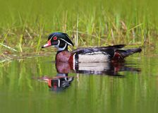 Male Wood Duck in the Water. Wood Duck in a pond with a reflection Royalty Free Stock Image