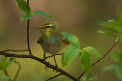 Male Wood warbler Stock Photo