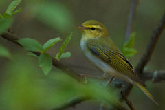 Male Wood warbler Royalty Free Stock Images