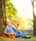 Male worker with basket of apples sitting in orchard and looking. Male agricultural worker in overalls with basket of harvested apples sitting in orchard, and Royalty Free Stock Photography
