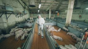 Male worker with a chartboard is walking along the pig farm