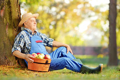 Male worker in dungarees with basket full of harvested apples in Stock Images