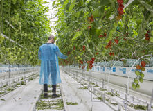 Male worker in greenhouse. Male worker working in greenhouse Royalty Free Stock Images