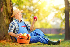 Male worker in overalls looking at apple in orchard. Male agricultural worker in overalls looking at apple in orchard Royalty Free Stock Images