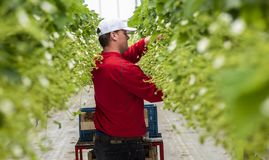 Male Worker at Strawberry Greenhouse. S-Gravenzande, The Netherlands - April 24, 2018: Male worker at a strawberry Greenhouse with rows of ripe strawberries and Royalty Free Stock Photos