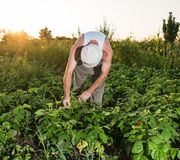 Male worker working in a bean farm. During harvesting Royalty Free Stock Photo