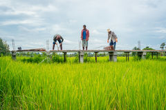 Male workers building elevated walkway in green rice field Stock Image