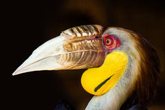 A male wreathed hornbill head. A male wreathed hornbill Rhyticeros undulatus in Phuket zoo Stock Images