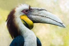 Male Wreathed Hornbill - horizontal Royalty Free Stock Photography