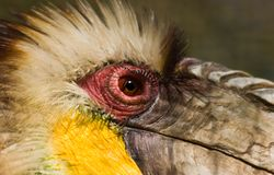 Male Wreathed Hornbill - horizontal Stock Photo