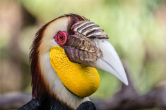 Male Wreathed hornbill portrait. Male Wreathed hornbill, Bird park, Batubulan, Bali Island, Indonesia Royalty Free Stock Photo