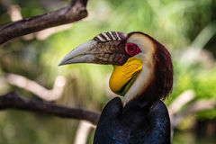 Male Wreathed hornbill portrait. Male Wreathed hornbill, Bird park, Batubulan, Bali Island, Indonesia Stock Photography
