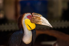 A male wreathed hornbill portrait. A male wreathed hornbill Rhyticeros undulatus in Phuket zoo Stock Images