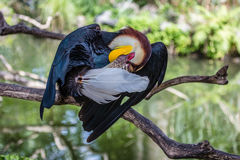Male Wreathed hornbill on a tree. Male Wreathed hornbill, Bird park, Batubulan, Bali Island, Indonesia Stock Photo