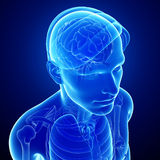Male xray brain anatomy artwork Stock Photography