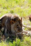 A male 2 year old lion rests around a park in Zimbabwe. A male 2 year old lion rests around the park in Gweru Zimbabwe. They are part of a lion release project Royalty Free Stock Images