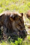 A male 2 year old lion rests around a park in Zimbabwe. A male 2 year old lion rests around the park in Gweru Zimbabwe. They are part of a lion release project Stock Photography