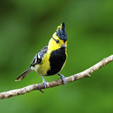 Male Yellow-cheeked Tit Royalty Free Stock Photos