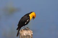 Male Yellow headed Blackbird Royalty Free Stock Photography