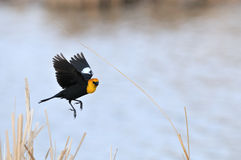 Male Yellow headed blackbird in flight. Yellow headed blackbird in flight over a marsh with grasses Royalty Free Stock Photo