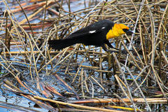 A male yellow headed blackbird jumping between reeds Royalty Free Stock Photos