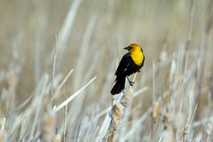 Free Male Yellow-headed Blackbird Perches On A Cattail In Spring In Alamosa National Wildlife Refuge In Colorado Stock Images - 116916824