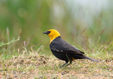 Male Yellow-headed Blackbird in spring breeding plumage. Standing in a meadow.  British Columbia, Canada Royalty Free Stock Photography