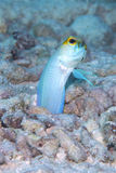 Male Yellow-headed Jawfish mouth brooding eggs, Bonaire, Dutch Antilles. Powder blue and bright yellow coloured male Yellow-headed Jawfish with mouth full of Stock Images