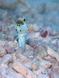 Male Yellow-headed Jawfish mouth brooding eggs, Bonaire, Dutch Antilles. Powder blue and bright yellow coloured male Yellow-headed Jawfish with mouth full of Stock Photography