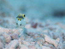 Male Yellow-headed Jawfish mouth brooding eggs, Bonaire, Dutch Antilles. Powder blue and bright yellow coloured male Yellow-headed Jawfish with mouth full of Stock Image
