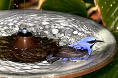 Male Yellow-legged Honeycreeper. (Cyanerpes caeruleus) in a birdbath Royalty Free Stock Photography