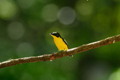 Male Yellow-rumped Flycatcher. Beautiful male Yellow-rumped Flycatcher (Ficedula zanthopygia) standing on branch Stock Photos