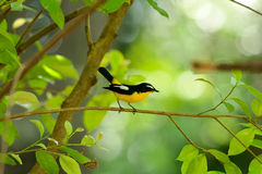 Male Yellow-rumped Flycatcher Stock Images