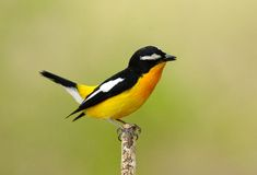 Male Yellow-rumped Flycatcher Royalty Free Stock Photography